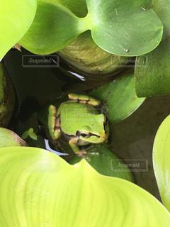 葉っぱの上のアマガエルの写真・画像素材[2515069]