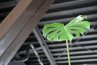 黒い壁の前にまっすぐと伸びる観葉植物の写真・画像素材[2398738]