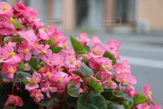 道端に咲くピンクの花の写真・画像素材[2398740]
