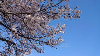青空と桜の花の写真・画像素材[2398839]