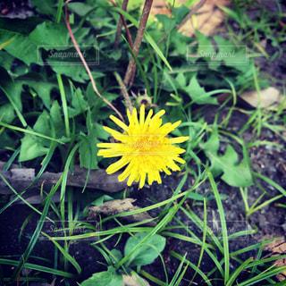草の中の黄色い花の写真・画像素材[2294105]