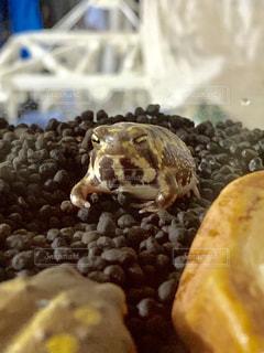 おもちのようなカエルの写真・画像素材[2295867]
