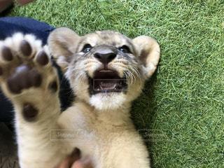 緑の草の上で戯れるライオンの赤ちゃんの写真・画像素材[2296217]