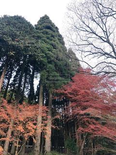 森の中の大きな木の写真・画像素材[2295584]