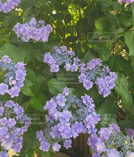 鎌倉 紫陽花の写真・画像素材[2295458]