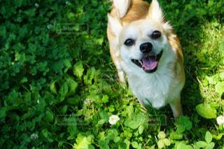 草の上に立っている笑顔のチワワの写真・画像素材[2303453]