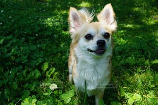 草の上に立っている犬の写真・画像素材[2303454]