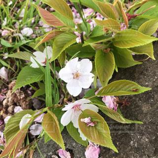 桜クローズアップの写真・画像素材[2303645]