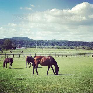 緑豊かな緑の草原に放牧牛の群れの写真・画像素材[725074]