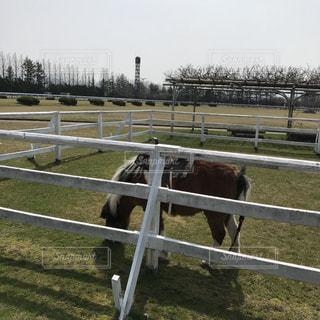 牧場でのんびりポニーの写真・画像素材[1106495]