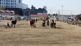 ばんえい競馬の朝調教の写真・画像素材[2217313]