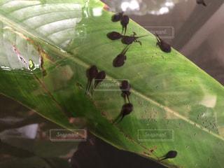 緑の葉とオタマジャクシのクローズアップの写真・画像素材[2314352]