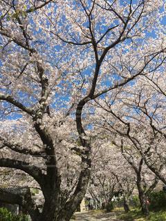 木の幹と桜の写真・画像素材[2297792]