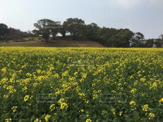 菜の花畑の写真・画像素材[2300812]