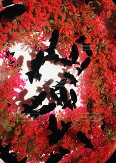 夏の風物詩、金魚の写真・画像素材[2300158]
