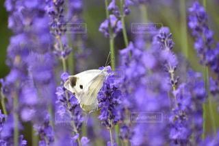 ラベンダーと蝶の写真・画像素材[2305101]
