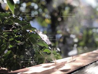 葉っぱを照らす光の写真・画像素材[2310368]