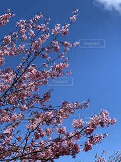 桜と青空の写真・画像素材[2302749]
