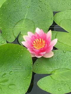 蓮の花の写真・画像素材[1500488]