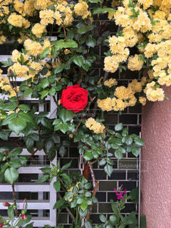 薔薇の写真・画像素材[2073173]