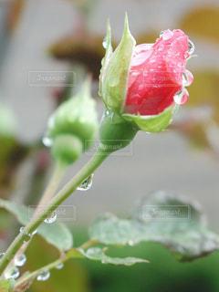 雨上がりの薔薇の蕾の写真・画像素材[2303817]