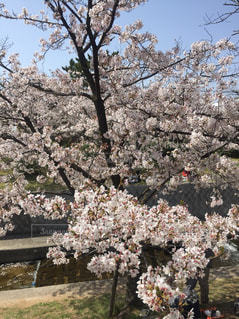 桜の写真・画像素材[2309744]