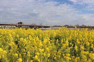 河川敷の菜の花の写真・画像素材[2893266]