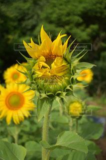 緑の葉を持つ黄色い花の写真・画像素材[2304446]