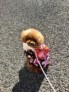 着物を着た犬の写真・画像素材[2305195]