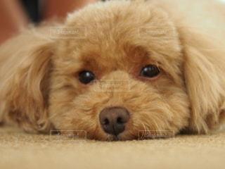 カメラを見ている茶色と白の犬の写真・画像素材[2354898]