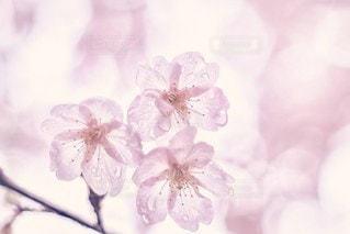 雨上がりの桜🌸の写真・画像素材[3202612]