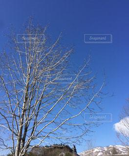 青空と遠くの雪山を背景に見た木の枝の美しさの写真・画像素材[2308719]