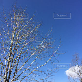 青空を背景にした冬の木の枝の写真・画像素材[2308720]