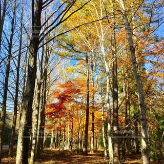 紅葉の木々の写真・画像素材[2308990]