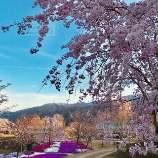桜のある風景の写真・画像素材[2309907]