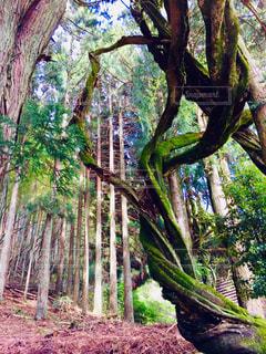 曲がりくねった木の写真・画像素材[2312956]