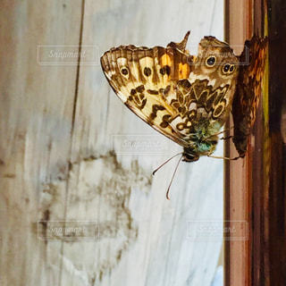 ふと見つけた蝶々を撮影しました。金属の表面に映っているのも面白いなぁと思います。の写真・画像素材[2323123]