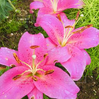 ピンクのユリの花の写真・画像素材[2435242]