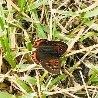 小さな蝶々の写真・画像素材[2448434]
