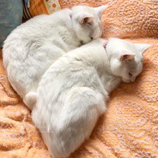 愛猫の白猫2匹の写真・画像素材[3174776]