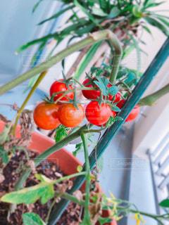 家庭菜園 ミニトマトの写真・画像素材[2311094]