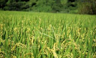 稲の写真・画像素材[2318951]