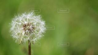 たんぽぽのクローズアップの写真・画像素材[2319009]