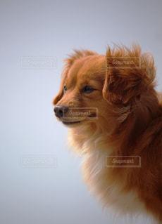 チワックス の犬の写真・画像素材[2319047]