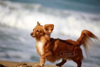 海辺の犬の写真・画像素材[2319820]