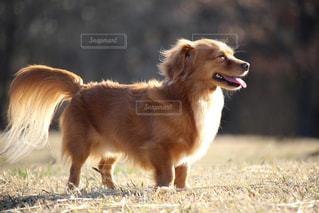 笑う犬の写真・画像素材[2319821]
