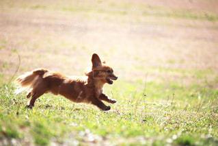 野原を走る犬の写真・画像素材[2320687]