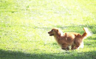 野原を走る犬の写真・画像素材[2320688]