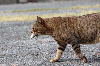 お魚くわえたドラ猫の写真・画像素材[2320768]