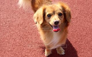 チワックスの犬の写真・画像素材[2320775]